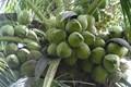 Tăng hiệu quả kinh tế cho trồng dừa