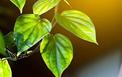 Bảo quản nông sản bằng màng chitosan kết hợp tinh dầu trầu không