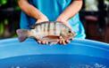 Nấm men thủy phân: Nguồn nucleotide đặc biệt và hiệu quả cho cá rô phi