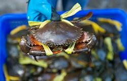 Hà Tĩnh: Nuôi cua biển sử dụng thức ăn công nghiệp