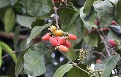 Chiết xuất hạt cây gắm giúp cải thiện tình trạng bệnh béo phì và tiểu đường