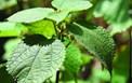 Đánh giá tác dụng chống oxy hóa và ức chế enzyme xanthine oxidase in vitro của cao chiết lá gai (Boehmeria nivea L. Gaudich)