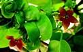 Nghiên cứu thành phần hóa học và hoạt tính sinh học cây Dị hùng hoa to