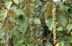 Hoạt tính tiềm năng kháng tế bào gốc ung thư Ntera-2 của hoạt chất  Malloapelta B phân lập từ cây bùm bụp Việt Nam