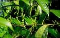 Nâng cao khả năng chữa bệnh xương khớp từ loài cây mọc hoang ở Việt Nam