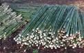 Nghiên cứu tạo giấm tre và than tre từ cây tầm vông phục vụ sản xuất nông nghiệp hữu cơ