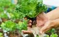 Thay thế việc dùng clo để khử trùng nước trong quá trình chế biến rau quả