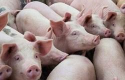 Kiểm soát vận chuyển lợn, sản phẩm từ lợn qua biên giới