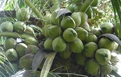 Phát triển giống dừa chất lượng cao nâng cao hiệu quả kinh tế cho người trồng dừa