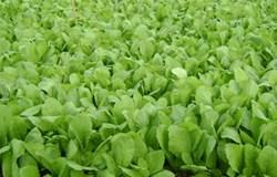 Ảnh hưởng của phân bón lá chiết suất từ dịch thủy phân cá tra lên sự sinh trưởng và phát triển của cây cải xanh