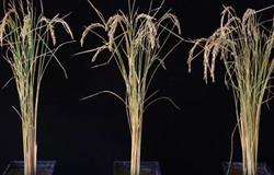 Tinh chỉnh RNA giúp cây trồng tăng năng suất